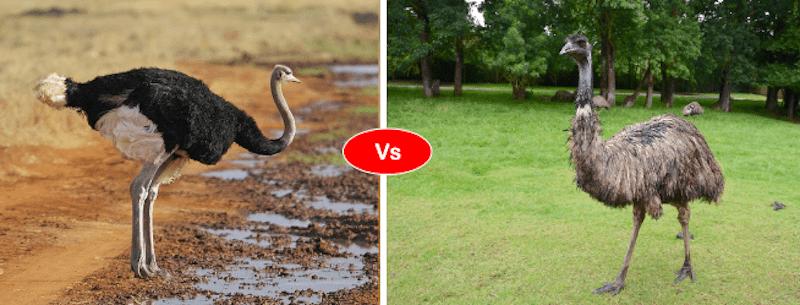 ostrich vs emu vs flamingo