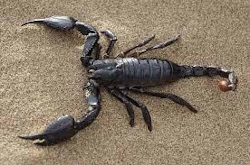 What is the colour of a Scorpion?