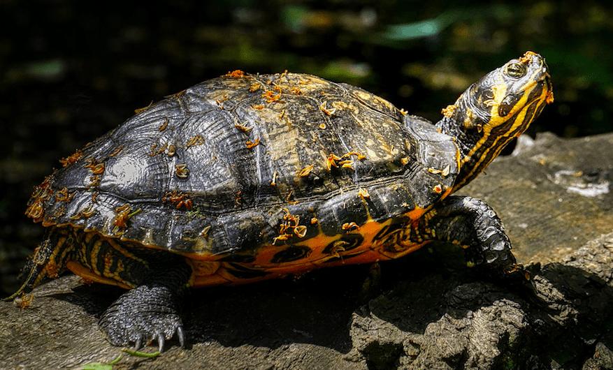 Rare Turtle seen