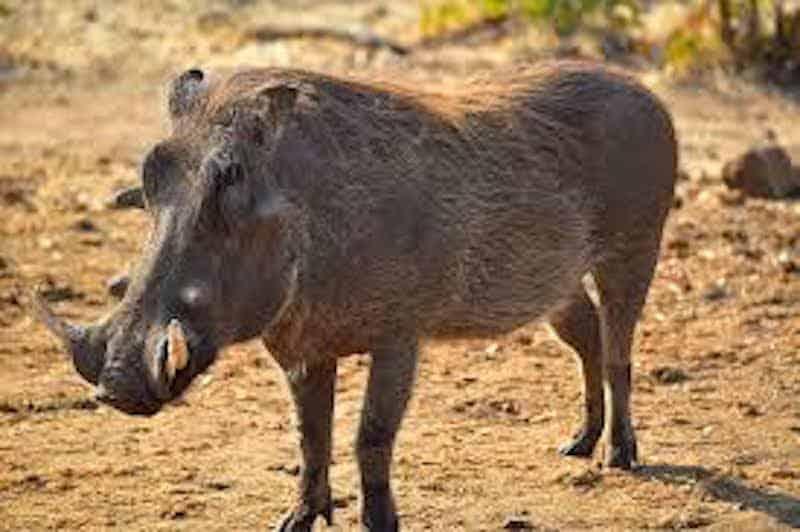 How does a Warthog look like?