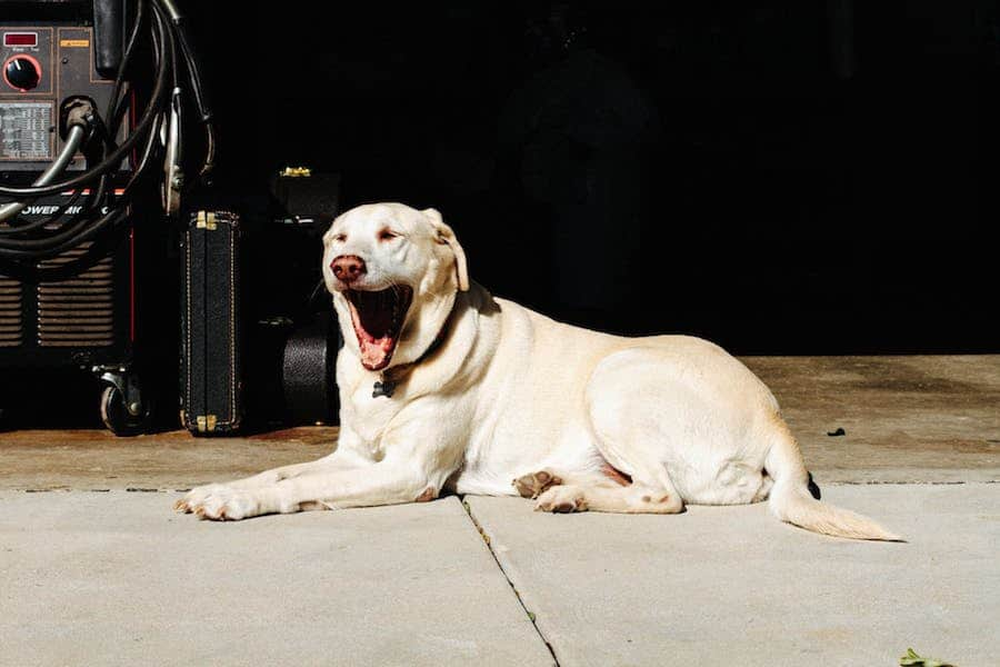 What types of colours are there in Labrador Retriever dog?