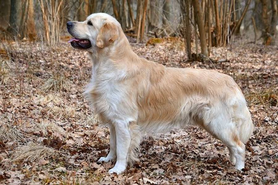 Do Golden retriever is a family dog?