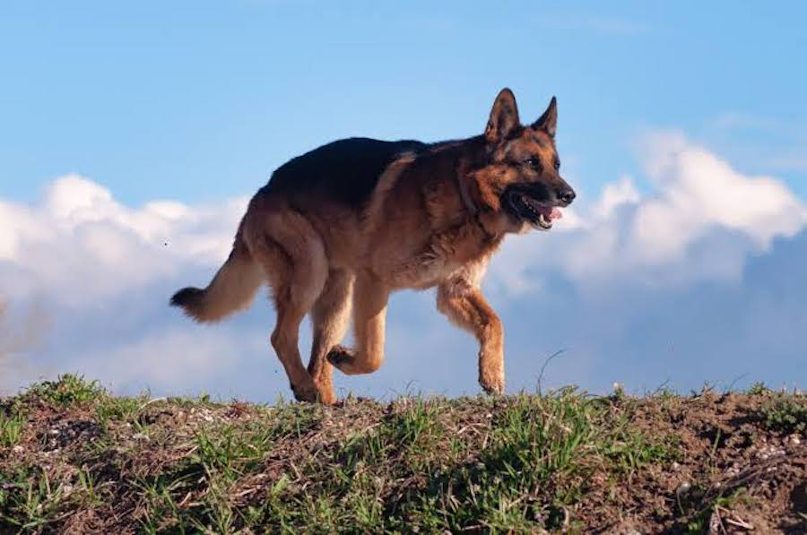 Can German Shepherd be your Guard dog?