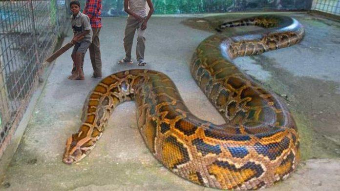 Largest Python snake