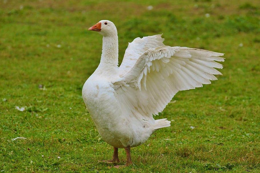 Can Goose fly?