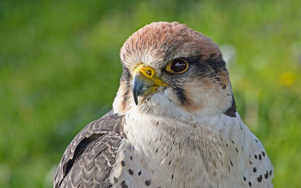 Falcon beak