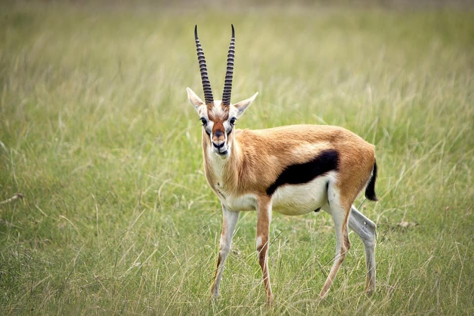 Gazelle predators