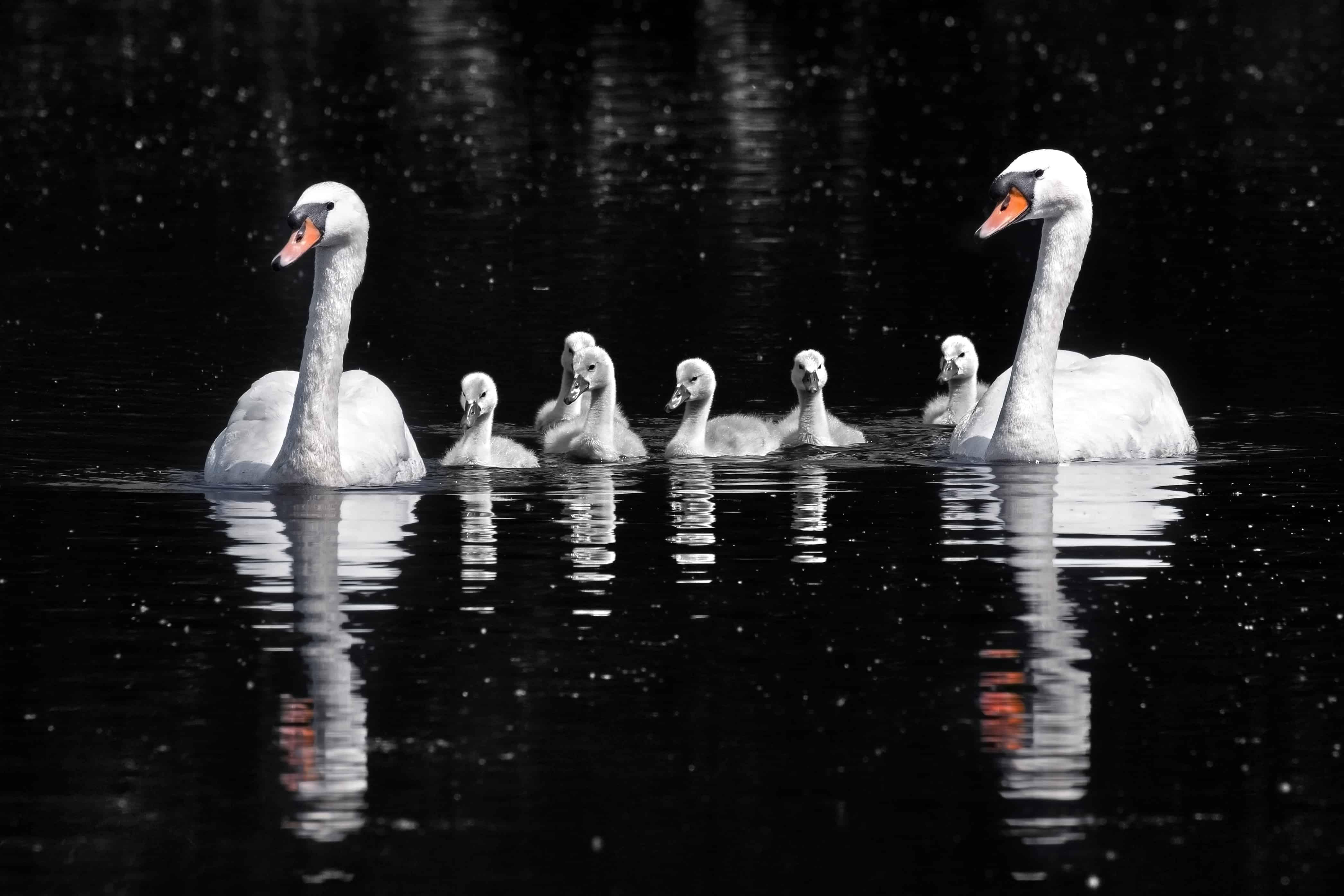 How do Swans reproduce?