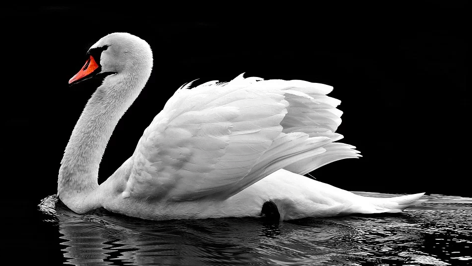 How does a Swan look like?