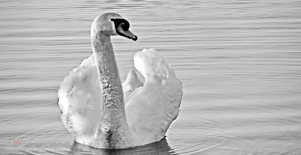 How long do Swans live?