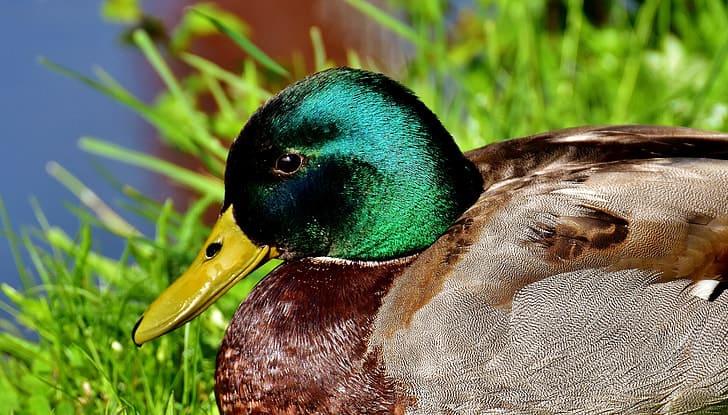 How long does a mallard duck live?
