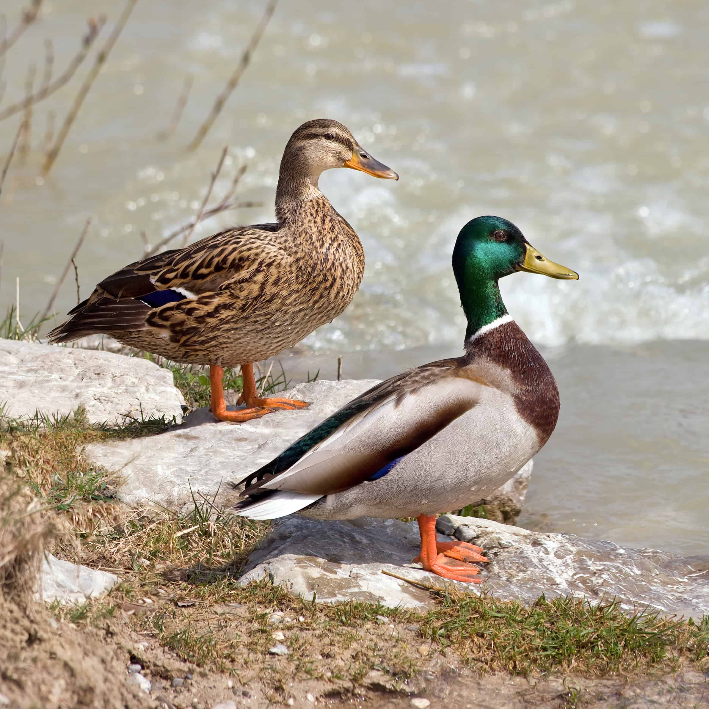 How many types of Ducks are there?