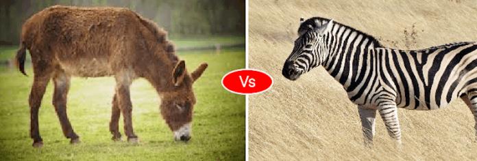 Zebra vs Donkey vs Horse