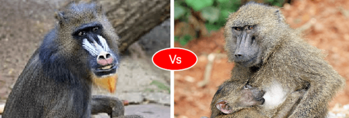 mandrill vs baboon vs monkey