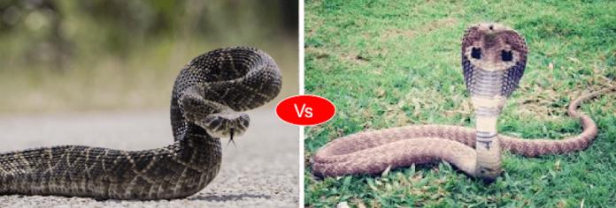 King cobra vs Rattlesnake