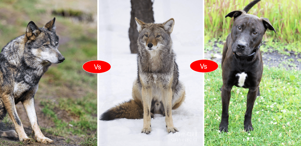 wolf vs coyote vs pitbull