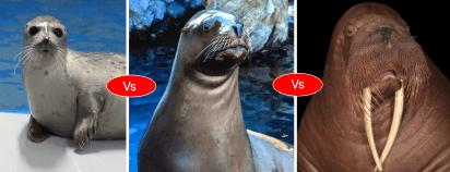 Walrus vs Seal vs Sea lion vs Otter