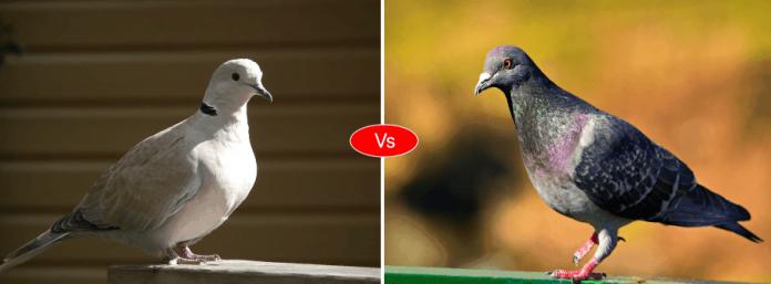 Pigeon vs Dove