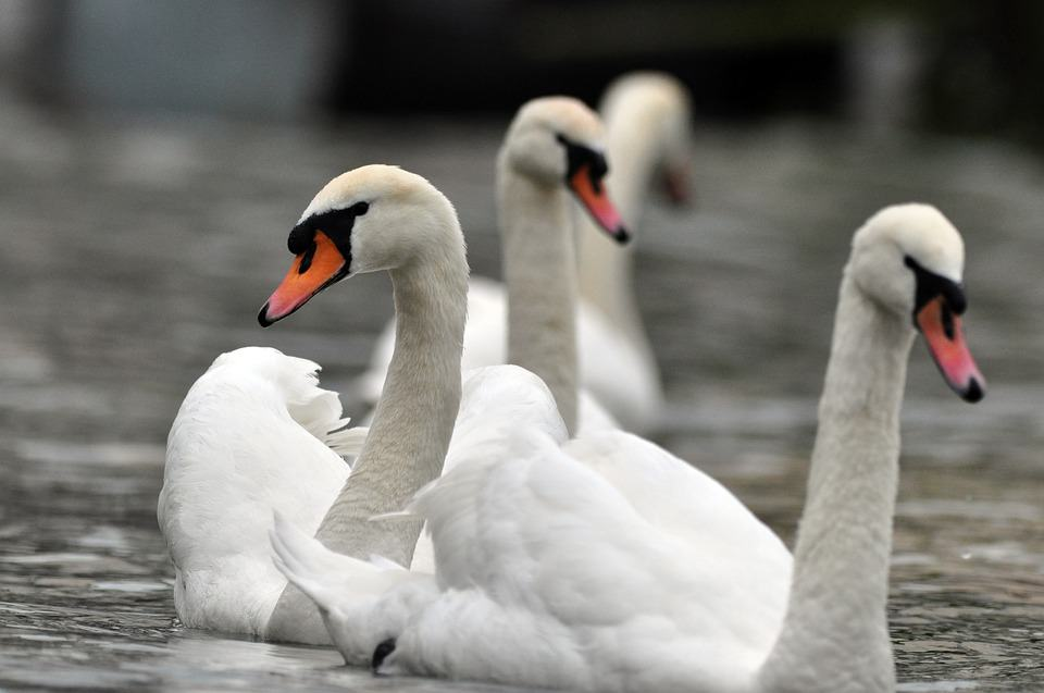 What are some interesting facts about Swan?