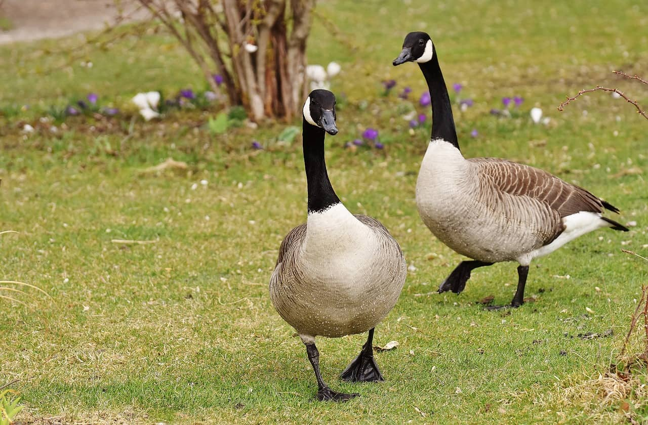 What are the different types of Goose?