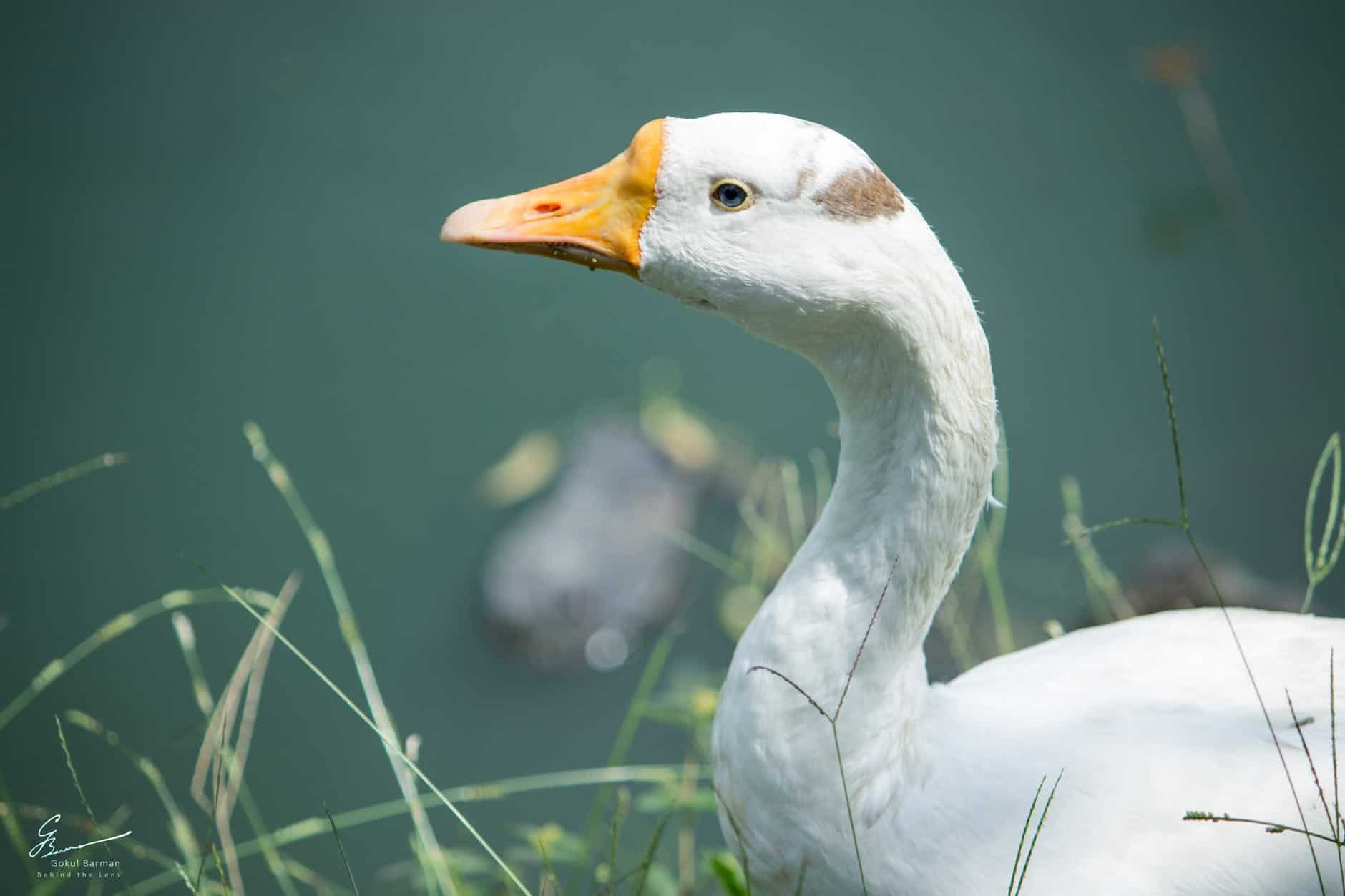 What are the interesting facts of Goose?