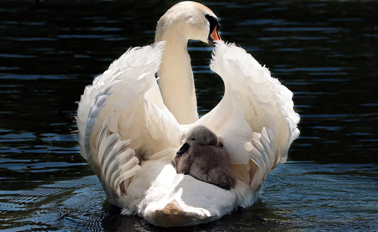 What long does a swan live?