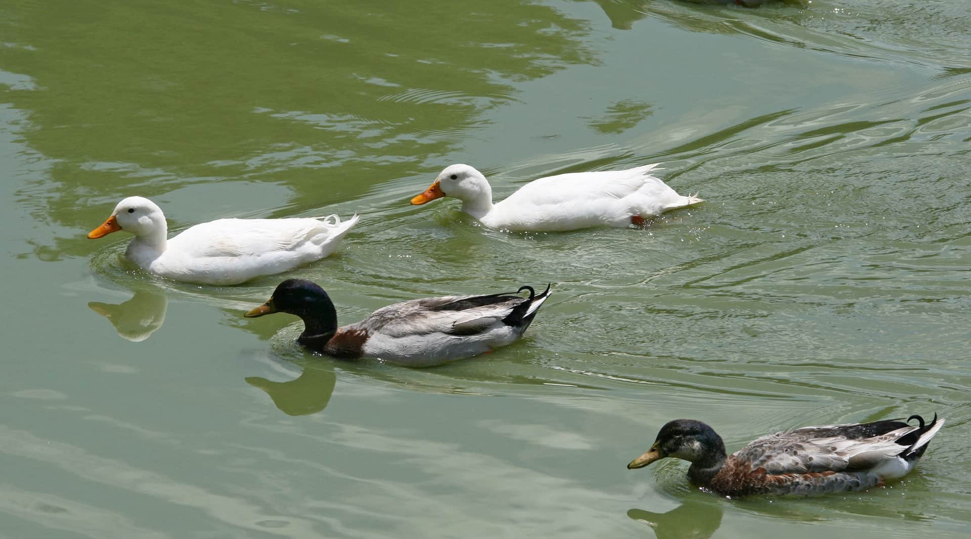 Where you found ducks in the water?