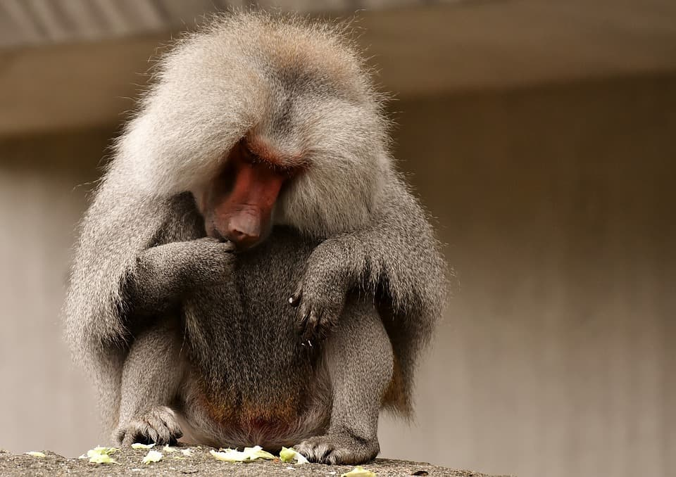 How baboon looks like
