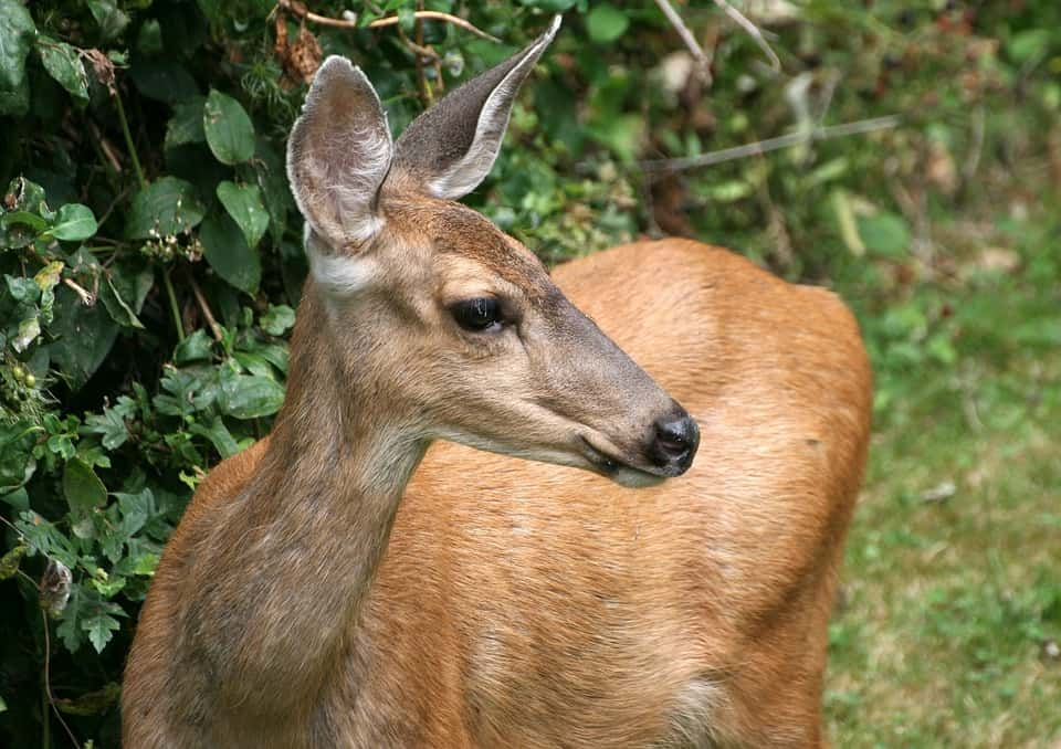 why Deer cannot be domesticated?