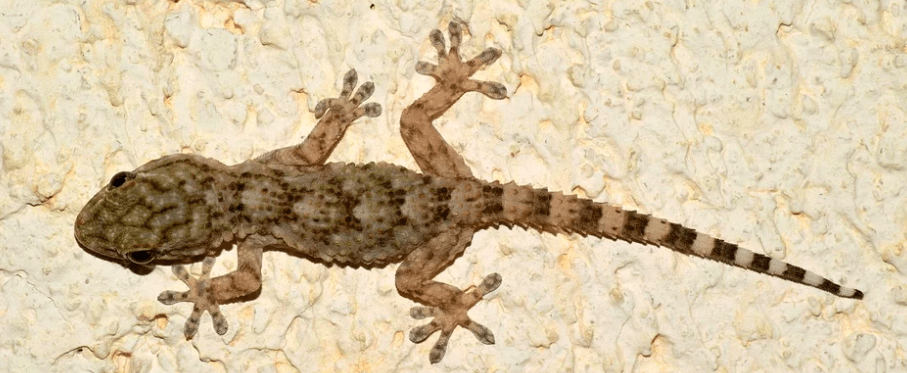 How is a Gecko looks like?