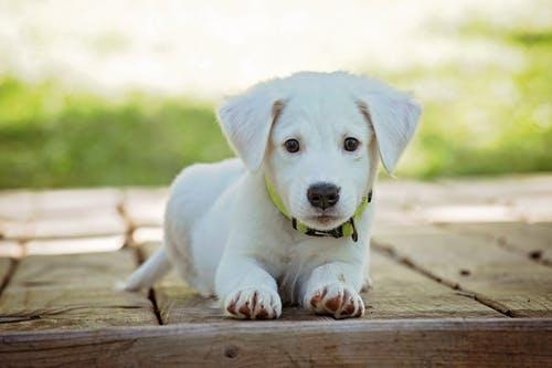 Why People buy Golden Retriever puppies?