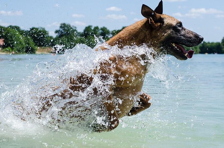 Do German Shepherd are good swimmers?