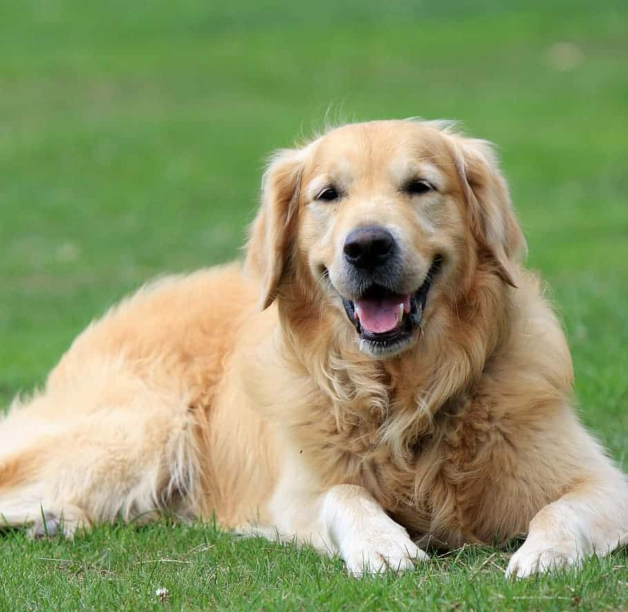 Does the hair shed is the problem in Golden retriever?