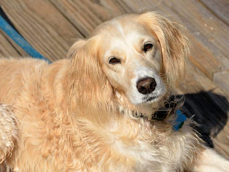 What are some health problems with Golden retrievers?
