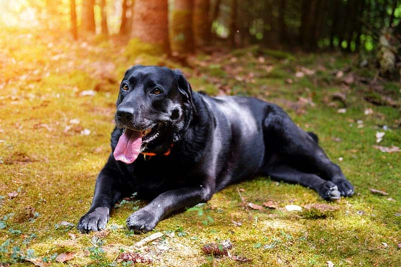 Why People buy Labrador Retriever dogs?