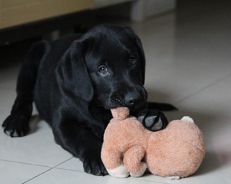 What is the best age for a Labrador puppy to train?