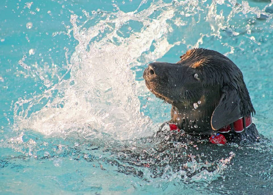 Can Labrador Retrievers be good swimmers?