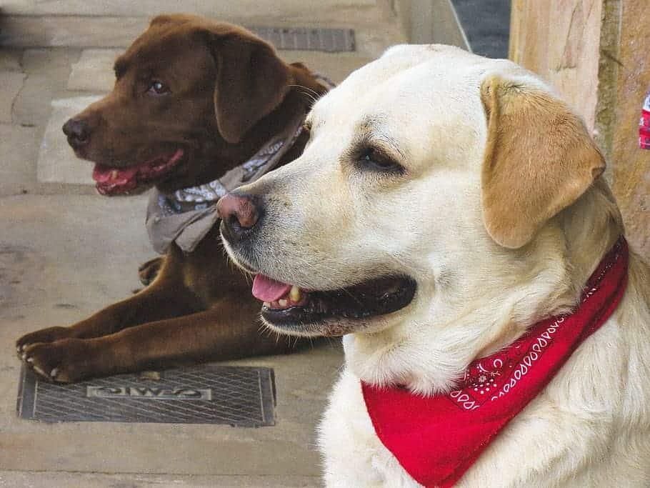 What are Cons of having Labrador retriever as a pet?
