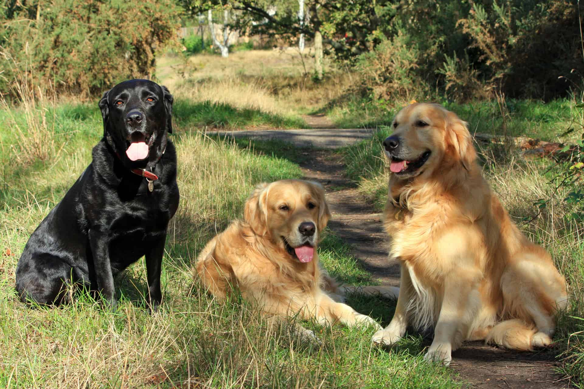 Do Labrador retriever sheds more than Golden retriever?