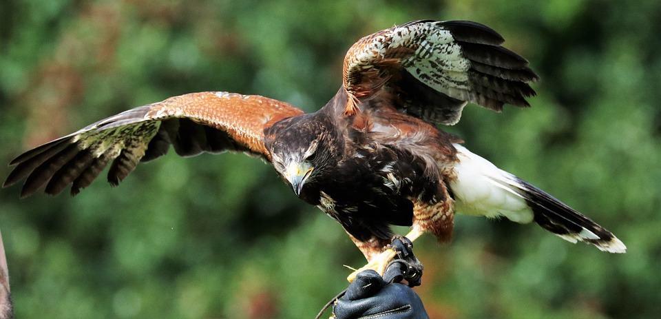 How hawk fly in sky