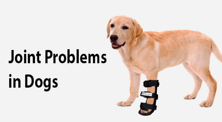 Joint Problems in Labrador Retriever
