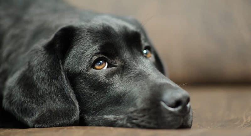 Labrador retriever heart disease