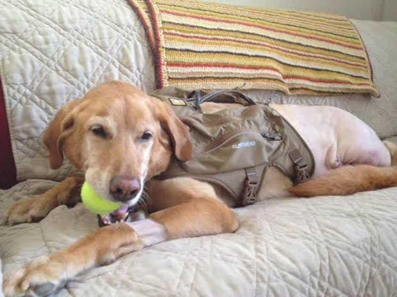 Labrador Retriever dog cancer