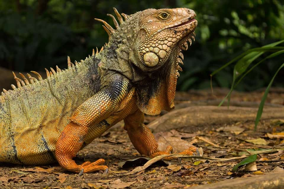 How Iguana looks like?
