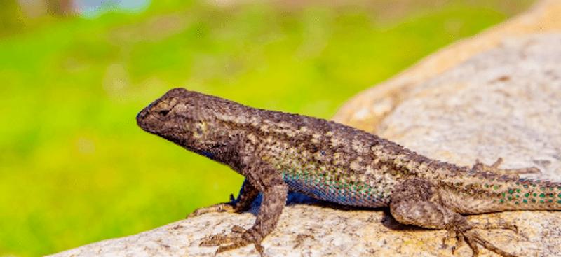 How does a lizard looks like?