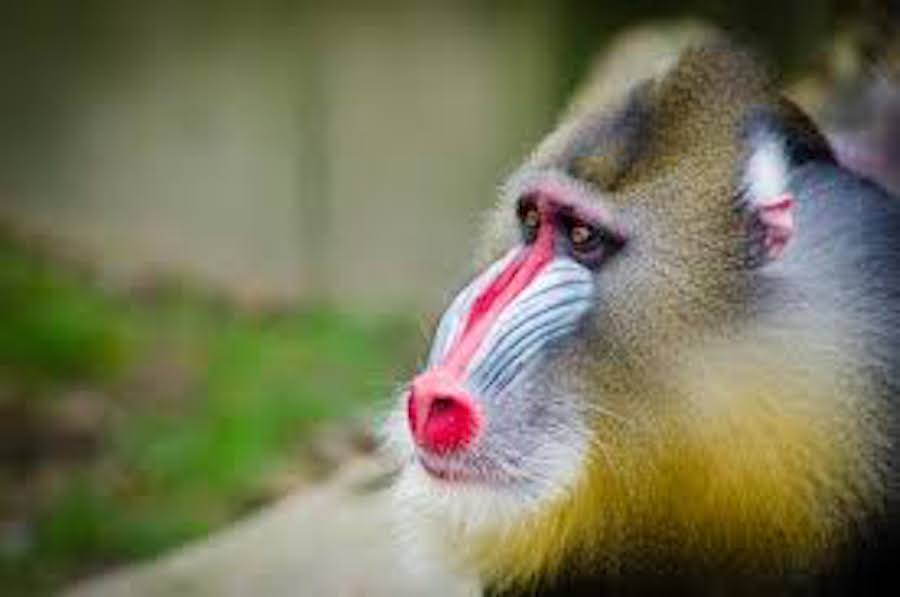 How does a mandrill look like