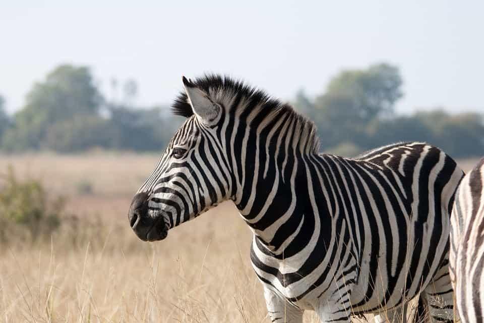 How does Zebra look like?