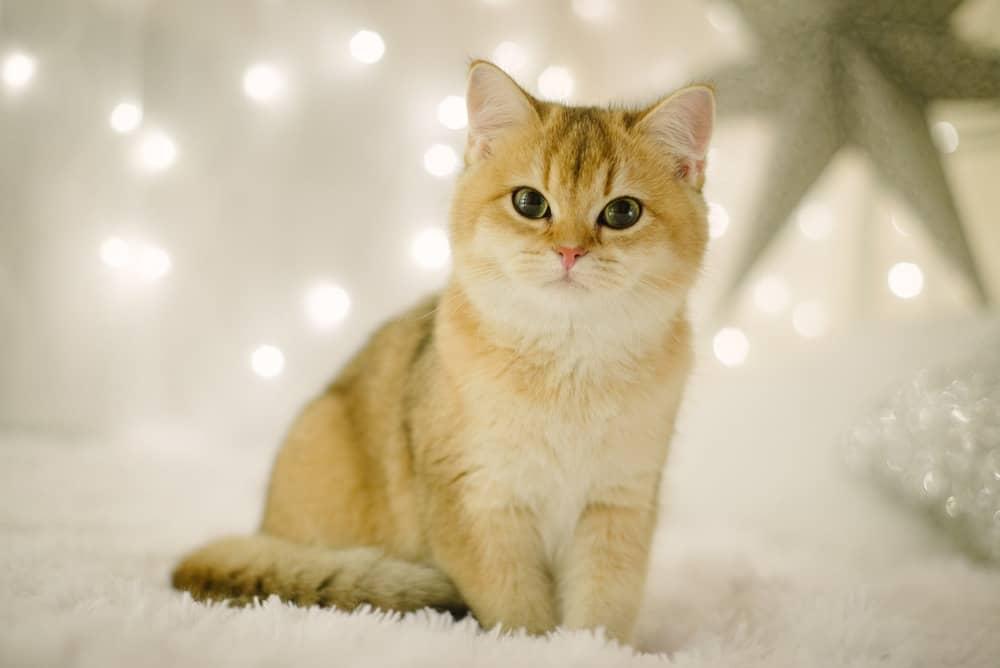 British Longhaired Cat