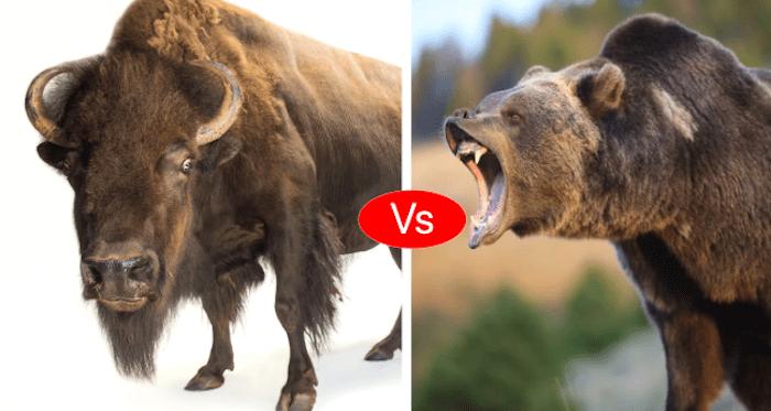 Bison vs Bear