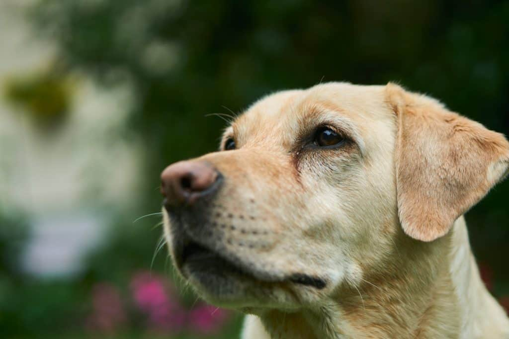 Intelligent Labrador dog